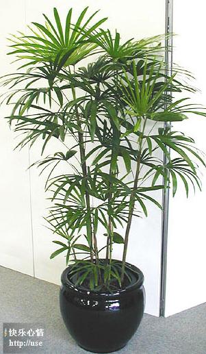 珍惜网络情缘..室内植物与功效 - 华山梅 - 华山梅欢迎您