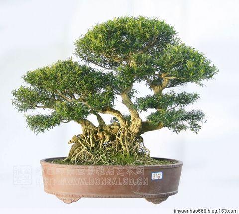 中国盆景精品1 - 金元宝 - 金元宝博客
