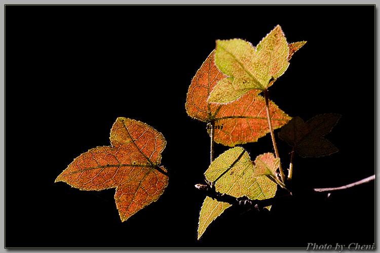 逆光、红叶、红花 - Cheni - Cheni的蝴蝶馆