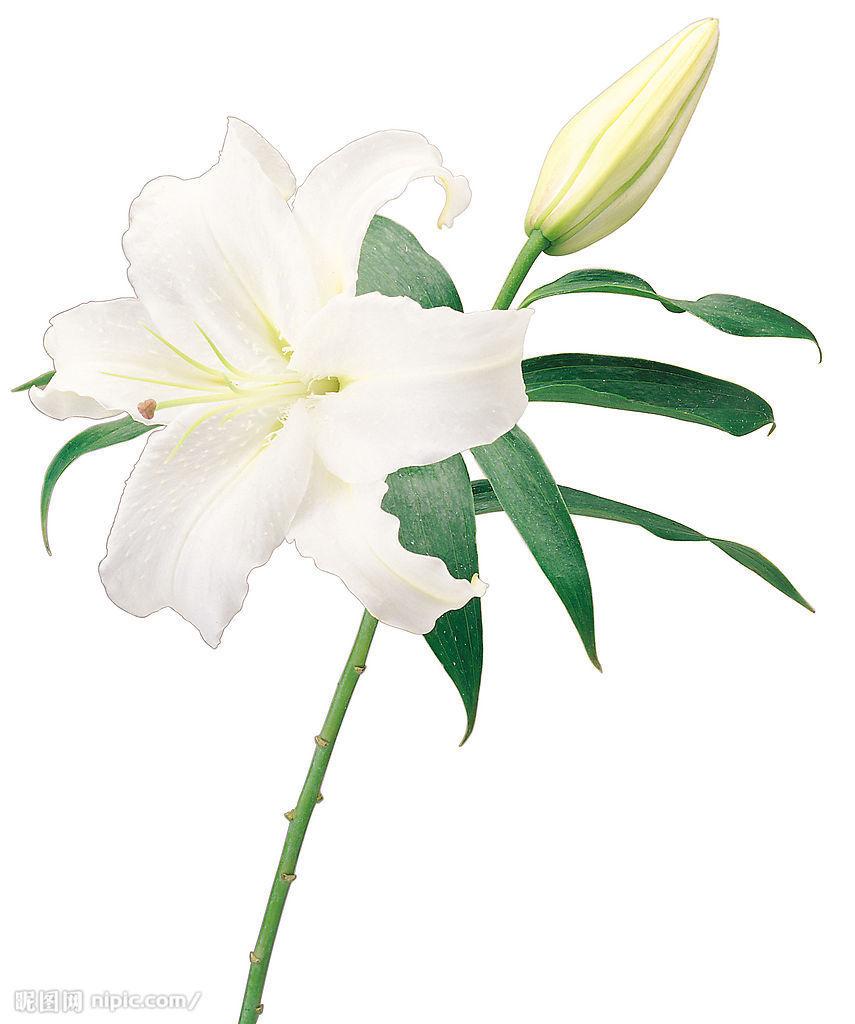 最爱百合花