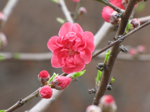 桃花朵朵开(原创摄影) - 木头人 - sampson827的博客