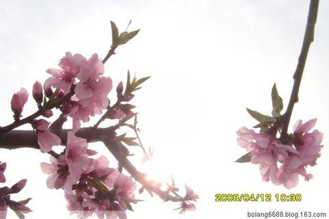 桃花-咏桃花诗(原) - 微风 - 微风