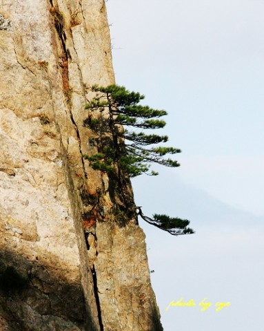 [原创]神州山水(02)黄山奇松《黄山松》 - 自由诗 - 人文历史自然 诗词曲赋杂谈