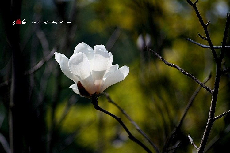 引用 [原创]  洁白、美丽的白玉兰 - 淡月凝霜 - 淡月凝霜