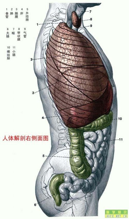 引用人体解剖图 - 28818的日志 - 网易博客 - 半忙半闲 - lixingming.4904 的博客