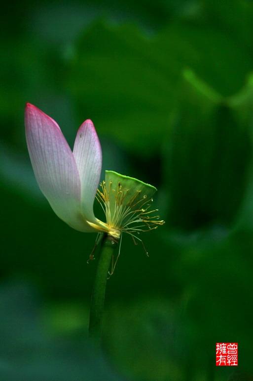 (原创摄影)荷趣(5)之落红惊艳 - 曾经拥有 - 我的摄影花园