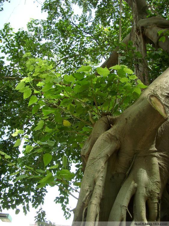 引用 菩提樹〔原创〕 - 狮子山上雾茫茫 - 狮子山上雾茫茫攝影集 的博客
