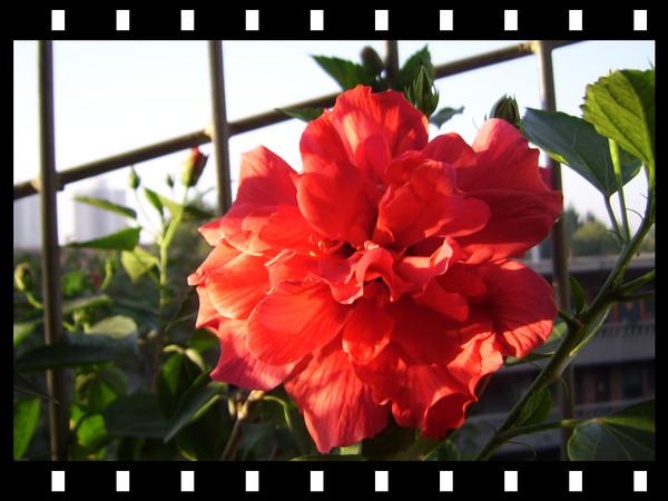 美丽的扶桑花(原创) - guohuachan - 青山绿水的博客