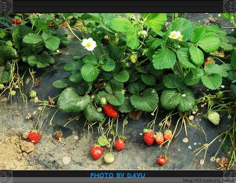 【转载】曹庵草莓桃花节游记 - 杨小川 - 杨小川教育叙事---生命的味道