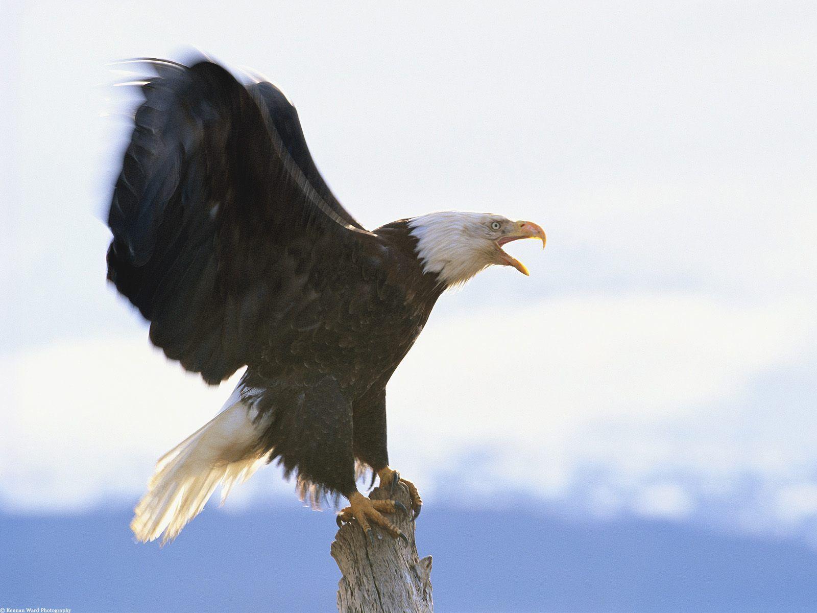 四个关于老鹰的故事 - 职业化训练专业培训师 - 职业培训师 高献洋的博客工作室