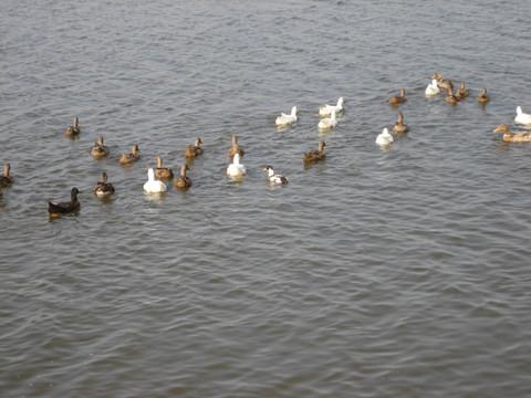 鸭子的战斗序列 (原创) - 陈军创建的 - 陈军创建的