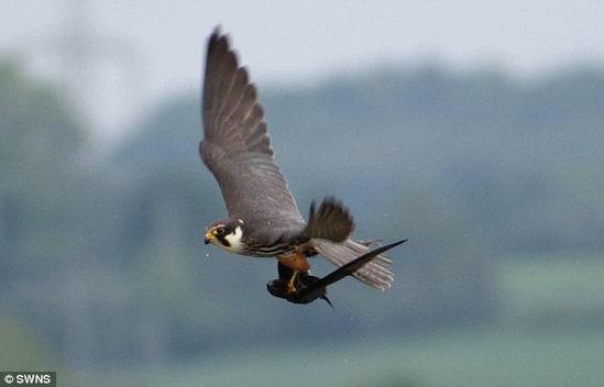 摄影师拍到小隼空中猎捕雨燕瞬间 - 双丰收 - 双丰收的博客后院