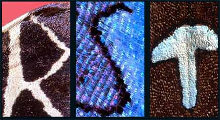 【图贴】蝴蝶翅膀上天然长26个字母 - 风语无言 - 风语无言的博客