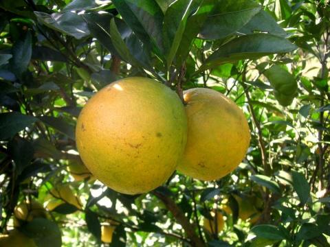 脐橙 - 木头人 - sampson827的博客