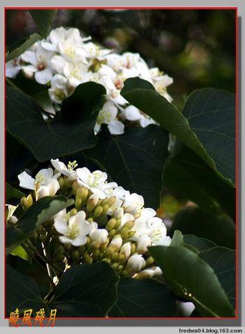 五月雪 - 油桐花開 - 曉風殘月 - 曉風殘月