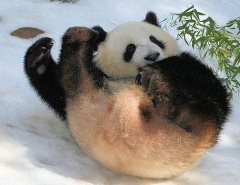 熊猫宝宝喜迎春(组图) - 雨思 - 雨思的博客