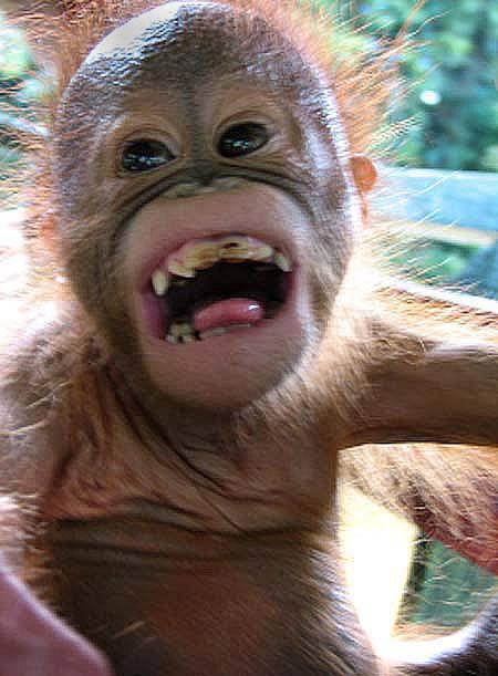 猩猩能模仿同类的表情 - 科学美国人 - 环球科学