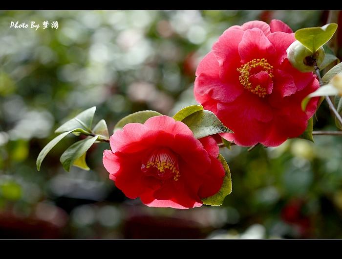 茶花观赏(2) - 花雕 - 花雕