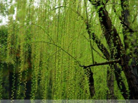 诗歌:春柳 - 草根 - 草根馨园