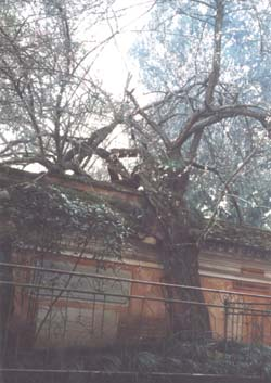 中国十大名树  - 五味子 - 我家的博客