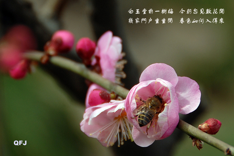梅香招蜂人亦醉 - qfjun2010 - qfjun2010的博客