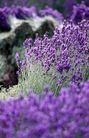 The hearts of the lavender fields - Kangke - 站得越高,越知道自己渺小