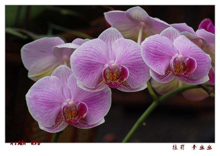 【原创】多姿兰花贺新春 - 梦幽幽 - 梦幽幽原创摄影工作室