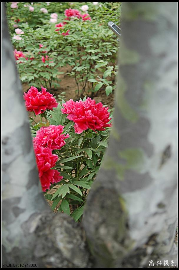 【转载】〔原创摄影〕京城牡丹A - 砚田耕夫 - 王卫平艺术空间