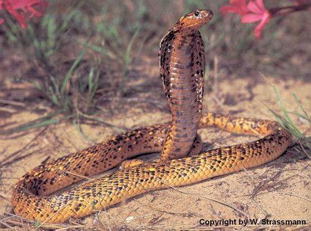 世界眼镜蛇(一)致命的美丽(上)----黄金眼镜蛇