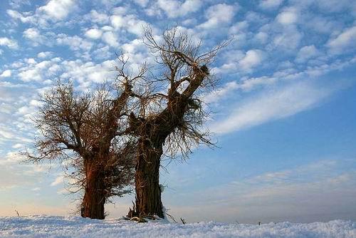 两棵树/和思远 - 一掬茗香 - 一掬茗香的博客