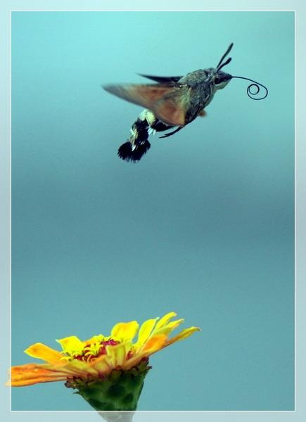 (原创)野蜂飞舞(蜂鸟蛾) - 鱼笑九天 - 鱼笑九天