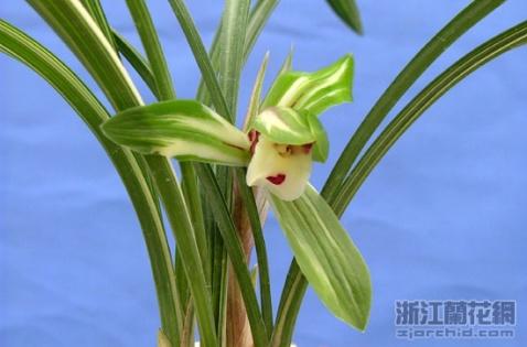 著名兰花品名封号一览表 -          之乎也者 - 中国汉水●沧浪赏石文化俱乐部