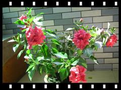 满盆花朵别样红 - guohuachan - 青山绿水的博客