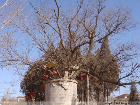 中原老槐树 - 海 - whp626187的博客