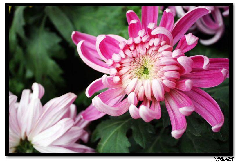傲霜的菊花 - 好友 - 爱的家园