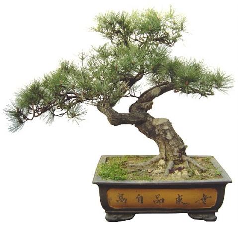 黑松盆景的栽培与养护 - ali8840 - ali8840的博客