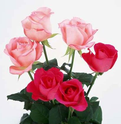 祝愿爱情象鲜花般盛开:献给好友们 - 乐天蓝鹰 - 乐天蓝鹰的博客