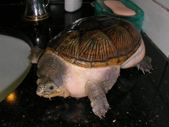 Claudius angustatus Narrow-bridged Musk Turtle 窄桥麝香龟