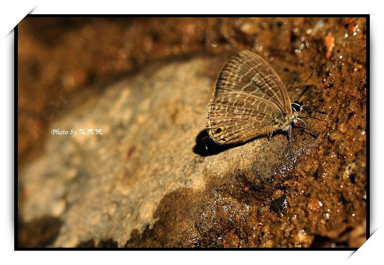 [原摄]不起眼的精灵--蝴蝶(1) - 飞天侠 - 飞天侠的摄影视界