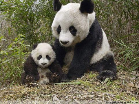动物世界-------熊猫【图文】 - 红海滩 - 红海滩古玩综合博客