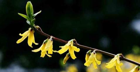 美丽的迎春花