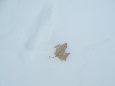 冬至、雪地、树叶 - 雪中雨人 - xuezhongyuren的博客