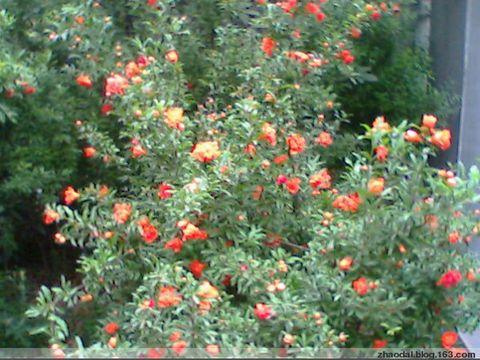 榴火的小帆船-现在,城里栽种的石榴树多数是用来观赏的,而并非石榴产地的石榴树图片