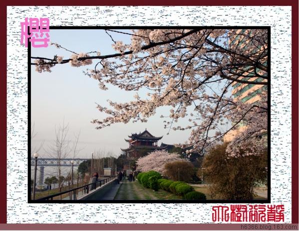 【原创】长江边的樱花 - 大树欲静 - 大树欲静的博客