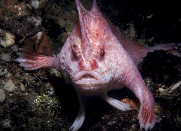 粉红色长手鱼