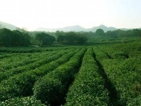 茶文化 - krazy_doll -