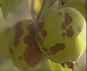 梨树病虫害防治技术|梨轮纹病|果树技术
