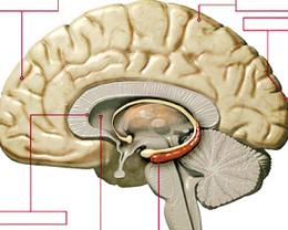 研究发现文化会影响大脑活跃程度(图)