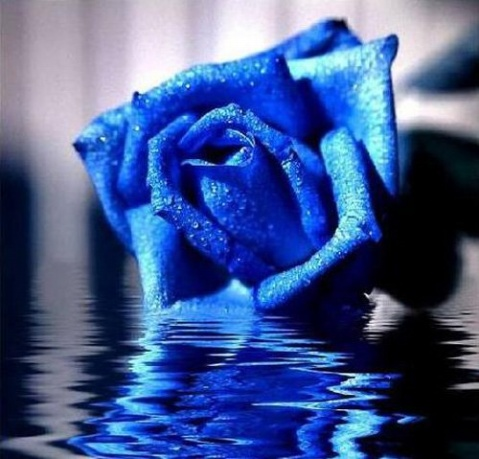 蓝玫瑰 - 真水无香  - 香格里拉 花开的地方