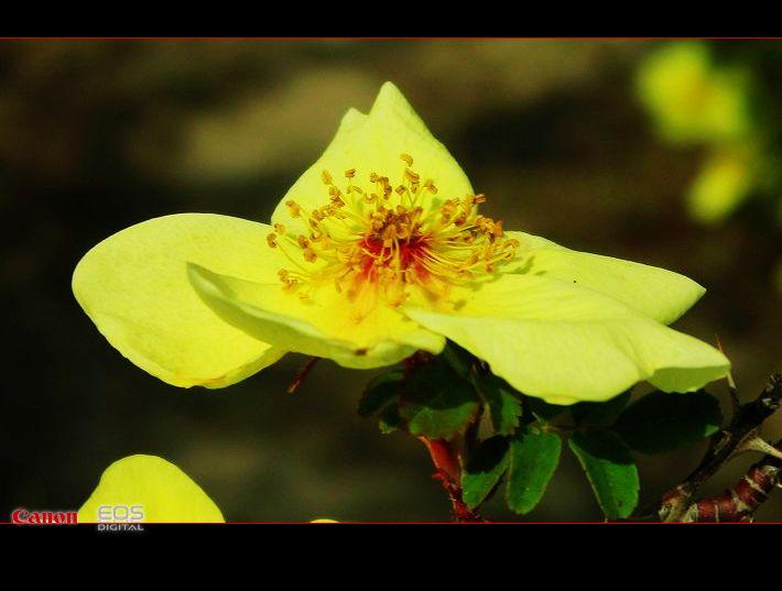 黄玫瑰【大漠摄影】 - 大漠独行 - 大漠深处camel的博客